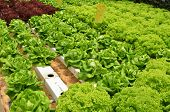 pic of greenhouse  - Hydroponic lettuce in greenhouse - JPG