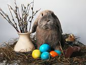 foto of herbivore animal  - Rabbit and mimosa Easter - JPG