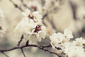 stock photo of apricot  - Apricot tree flower with buds blooming at springtime, vintage retro floral background