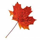 image of canada maple leaf  - Autumn red maple - JPG