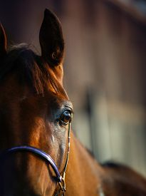 stock photo of chestnut horse  - Detail of arabian horse in the stable - JPG