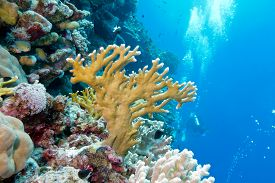 picture of aquatic animals  - coral reef with fire coral at the bottom of tropical sea on blue water background  - JPG