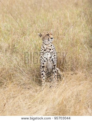 Cheetah Rest In Tall Grass