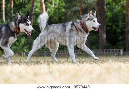 Two Siberian Husky plays in the park.