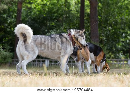 Husky is biting  for the tail beagle.