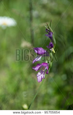 Native Flower On To The Meadow
