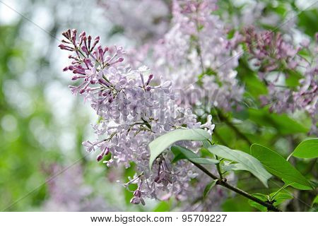 Lilac Flower, Bloom