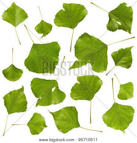 Set Of Poplar Leaves