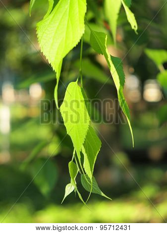 Green Birch Branch With Leaves