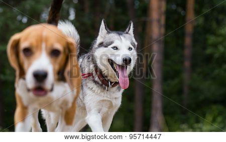 Siberian husky is running for beagle.