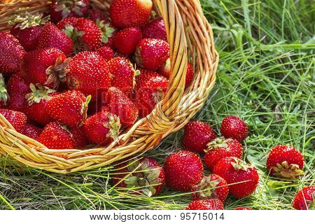 Overturned Basket Of Strawberries Close Up