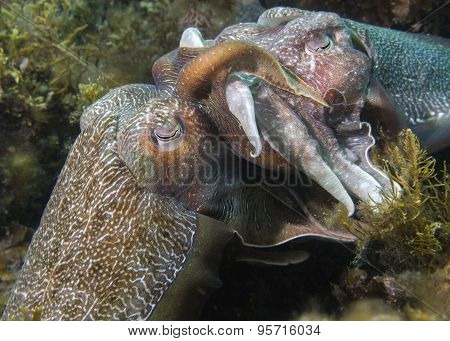 Cuttlefish Mating
