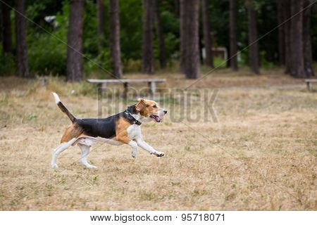 Beagle runs through the field.