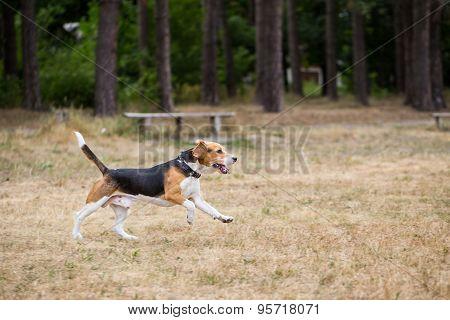 Beagle runs through the field.