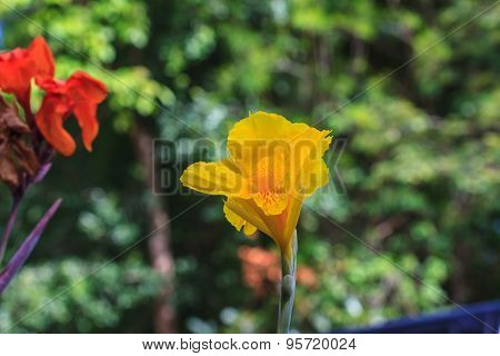 Yellow Canna Flower In The Garden