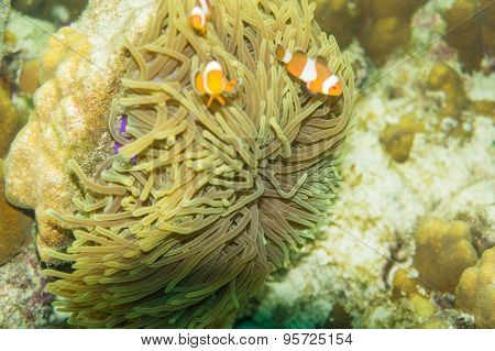 Clown Anemonefish Tropical Underwater Life In The Sea.