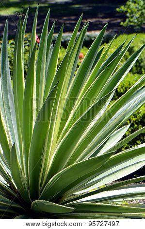 Century Plant. Latin name Agave americana 'Variegata'