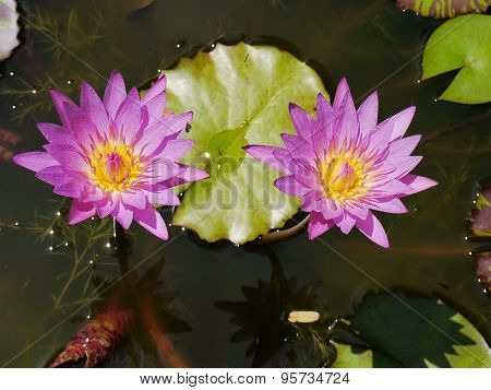 Twin pink lotus and yellow pollen so cute in thai