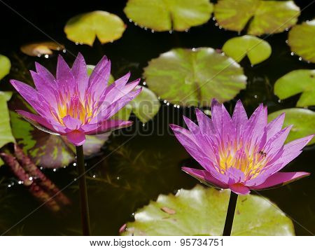 Twin pink lotus and yellow pollen so cute