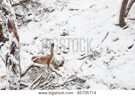 Guanaco in the Snow