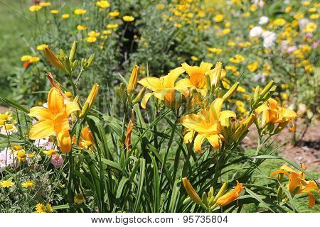 Daylily (Hemerocallis) Yellow