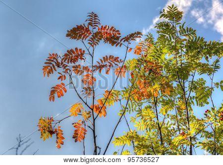 Rowan Branches