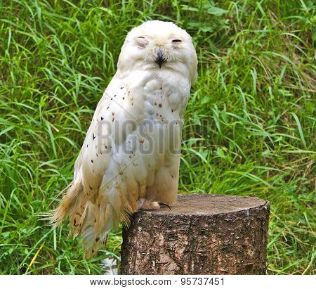 Single snowy owl or Bubo Scandiacus