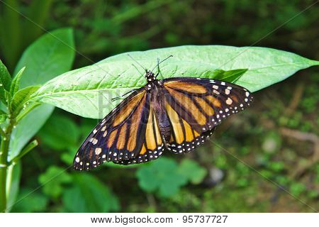Limenitis archippus, Viceroy or Monarch butterfly on a green leave