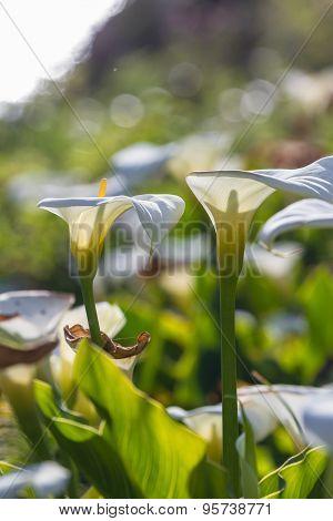 Calla Lilies - Zantedeschia Aethiopica