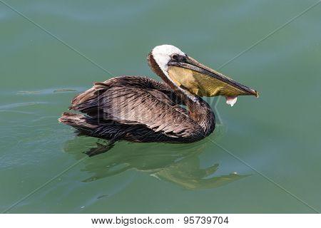 Pelican Eating Fish Filet