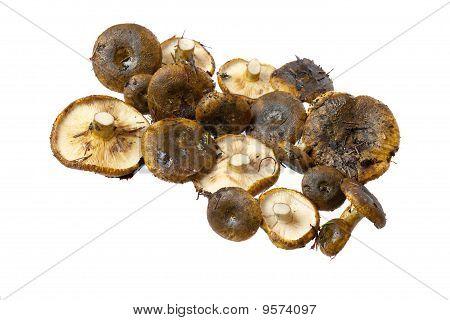 Lactarius Necator Mushrooms