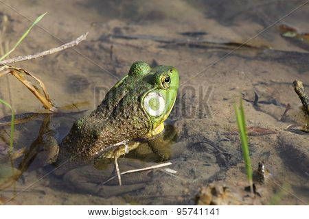 Bullfrog in Clear Water