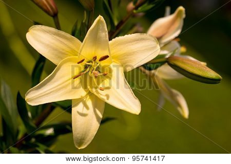 Vibrant Yellow Colored Asiatic Lily Flower