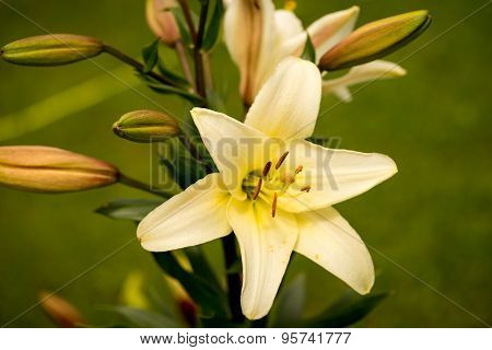 Yellow Asiatic Lily In Flower Garden