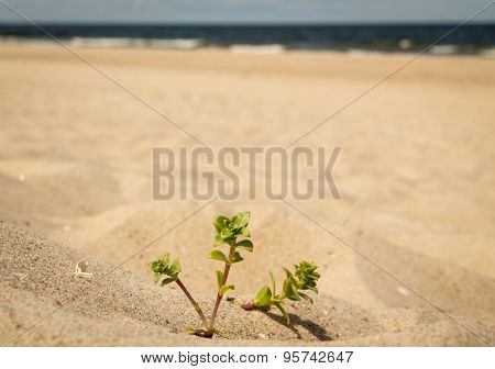 Sedum on a beach