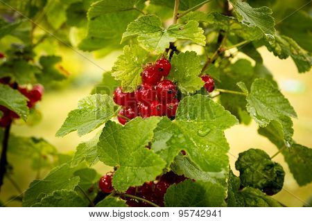 Redcurrant branch - Ribes rubrum
