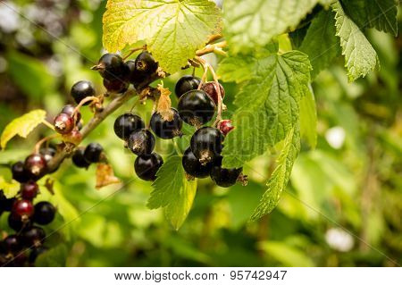 Blackcurrant branch - Ribes nigrum