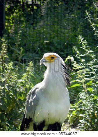 Secretarybird in garden