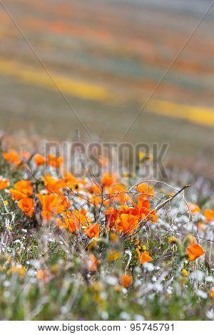 California Poppies -eschscholzia Californica