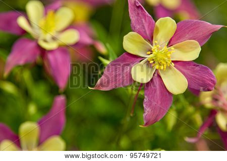 Purple And Yellow In The Garden Aquilegia