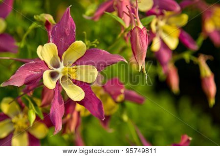 Aquilegia Flowers At Sunset
