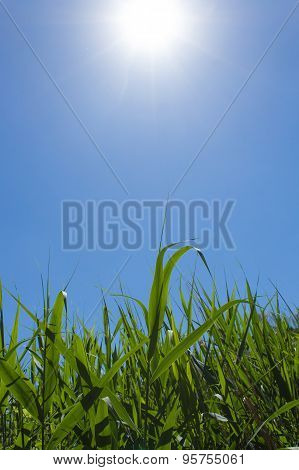 green reed field, blue sky and sun