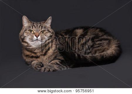 Tricolor Striped Cat Lies On Dark Gray