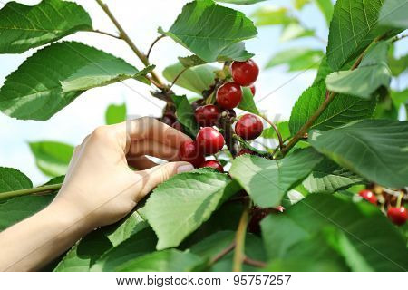 Female hand picking cherries from branch in garden