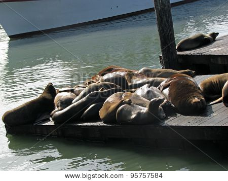 Sea Lions of Pier 39 San Francisco California