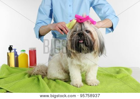 Cute Shih Tzu and hairdresser in barbershop isolated white