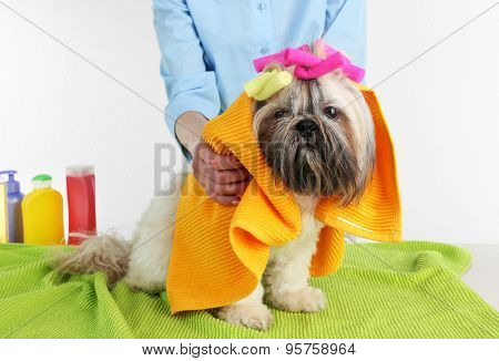 Hairdresser towel Shih Tzu dog in barbershop isolated on white
