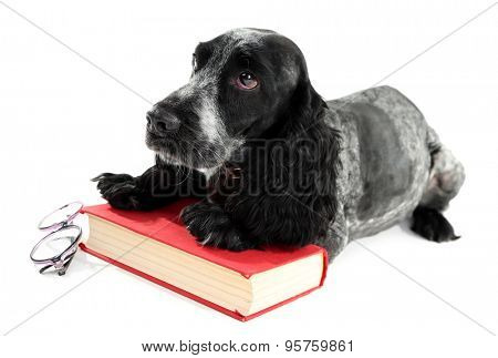 Russian spaniel with book and glasses isolated on white