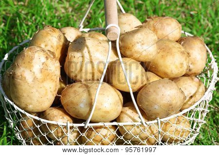 New potatoes in wicker basket  over green grass background