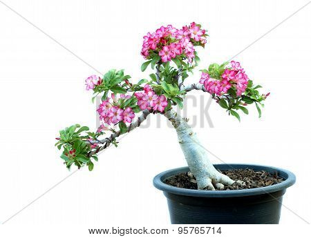 Azalea Trees In Pots Isolated On White Background